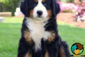 Bernese Mountain Dog Wanted