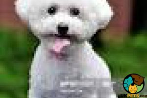 Bichon Frises Wanted