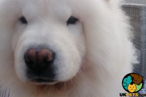 Chow Chow Wanted in Lodon