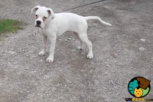 Boxer For Sale in Great Britain