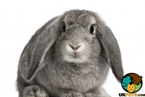 French Lop Online Listings