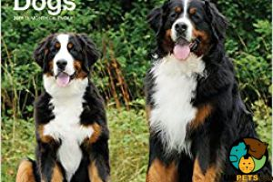 Bernese Mountain Dog for Rehoming