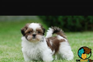 Shih Tzu Advertisement UK Pets