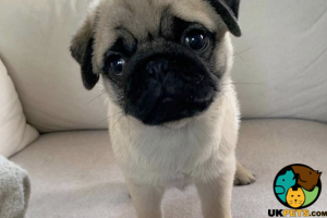 Pug Wanted in the UK