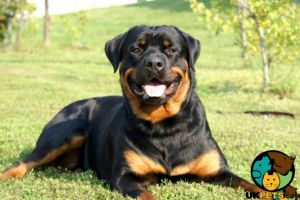 Rottweiler Wanted
