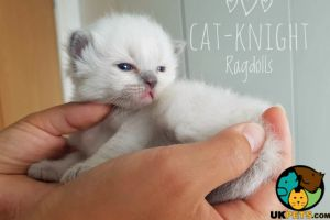 Cute Ragdoll For Sale