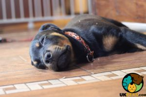 Rottweilers Wanted