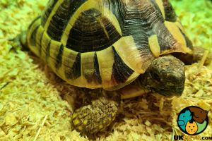 Hermann Tortoise For Sale in Great Britain