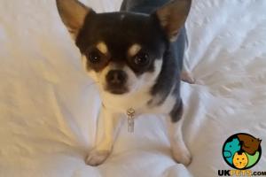 Chihuahua Advertisement UK Pets
