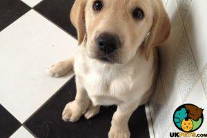 Labrador Retriever Wanted