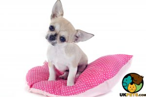 Chihuahua Online Ad