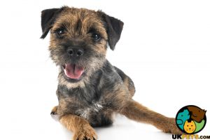 Available Border Terriers