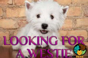 West Highland Terrier Online Ad