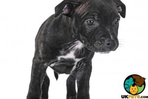 Staffordshire Bull Terrier Wanted