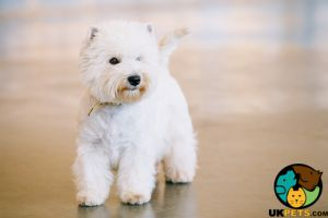 West Highland Terrier Wanted in Lodon