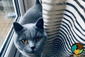 FEMALE SCOTTISH FOLD CAT FOR SALE