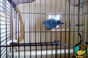 Parakeet Advertisement UK Pets