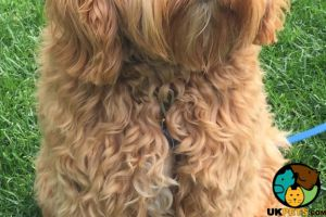Cockapoo Wanted in Lodon