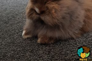 Bonded female and male rabbits for sale