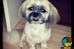 Shih Tzus for Rehoming