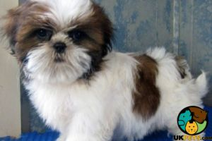 Shih Tzu Wanted in Great Britain
