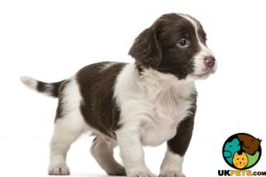 English Springer Spaniel Dogs Breed