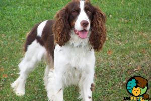 Available English Springer Spaniels