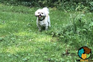Shih Tzu Wanted in Lodon