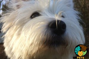 West Highland Terriers for Rehoming