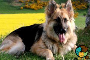 German Shepherd Dogs Breed