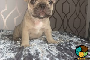 French Bulldog For Sale in Great Britain