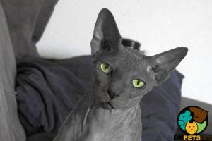 Sphynx Wanted