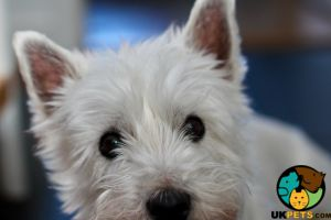 West Highland Terrier for Rehoming