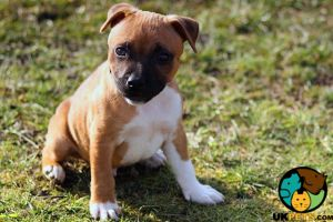 Available Staffordshire Bull Terriers