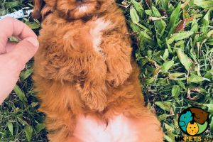 Cockapoo Wanted in Great Britain