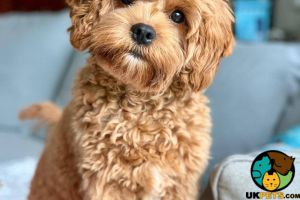 Cavapoo Wanted in the UK