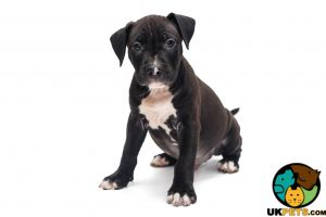 Staffordshire Bull Terrier Advertisement UK Pets