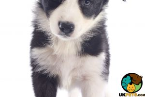 Border Collie Wanted in the UK