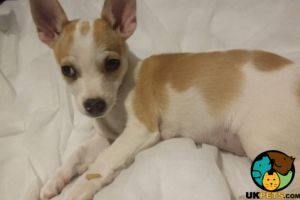 Chihuahua for Rehoming