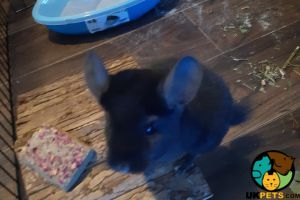 Chinchilla Rabbits Breed