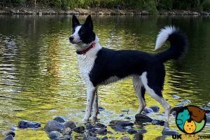 Border Collie Wanted in Great Britain
