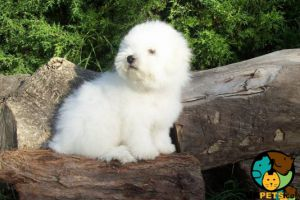 Bichon Frise Wanted in the UK