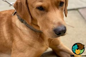 Labrador Retriever For Stud in Lodon