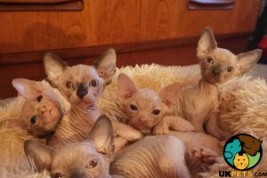 Sphynxes For Sale