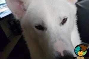 Siberian Huskies For Stud