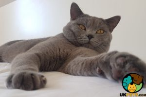 British Shorthair For Stud in Great Britain