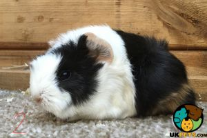 Guinea Pig For Sale in the UK
