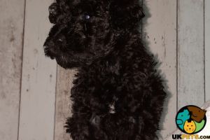 Cockapoo For Sale in Lodon