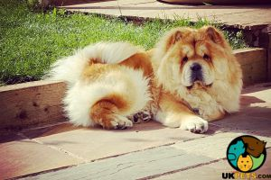 Available Chow Chows