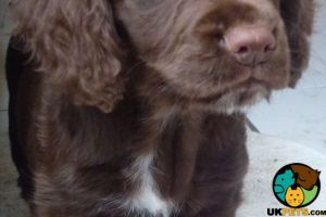Cocker Spaniel Wanted in the UK